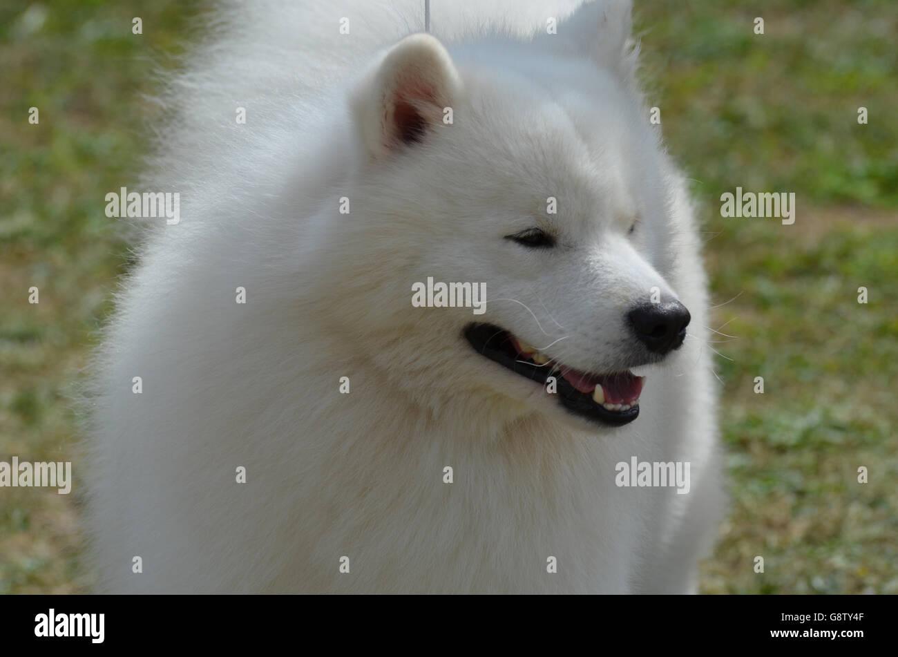 De belles serviettes blanches American Eskimo Dog. Banque D'Images