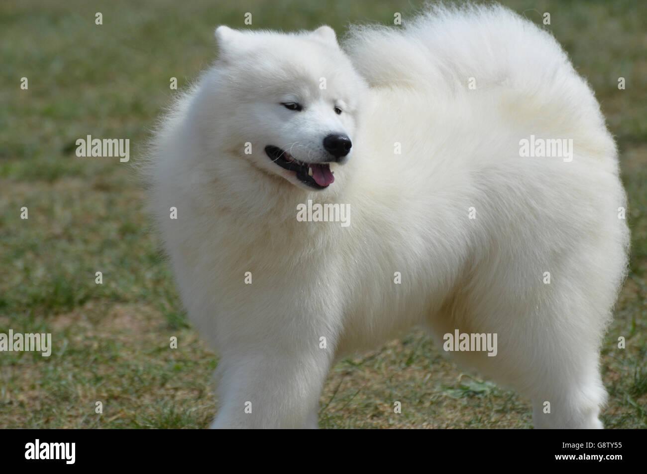 Tandis que les chiens esquimaux sont des chiens de compagnie qu'ils sont également bien connu les artistes de cirque. Banque D'Images