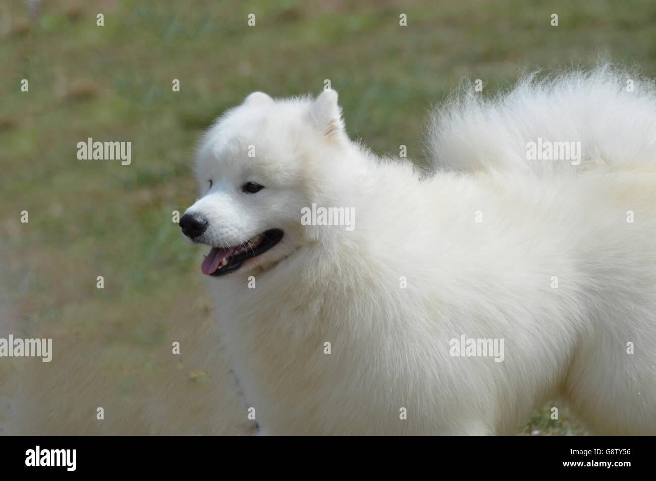 Superbe fluffy white American Eskimo Dog avec un visage mignon. Banque D'Images