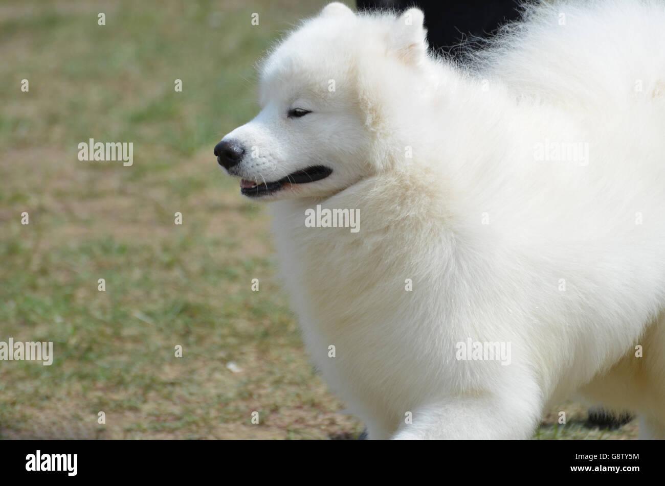 Adorable chien esquimau américain avec ses yeux fermés. Banque D'Images