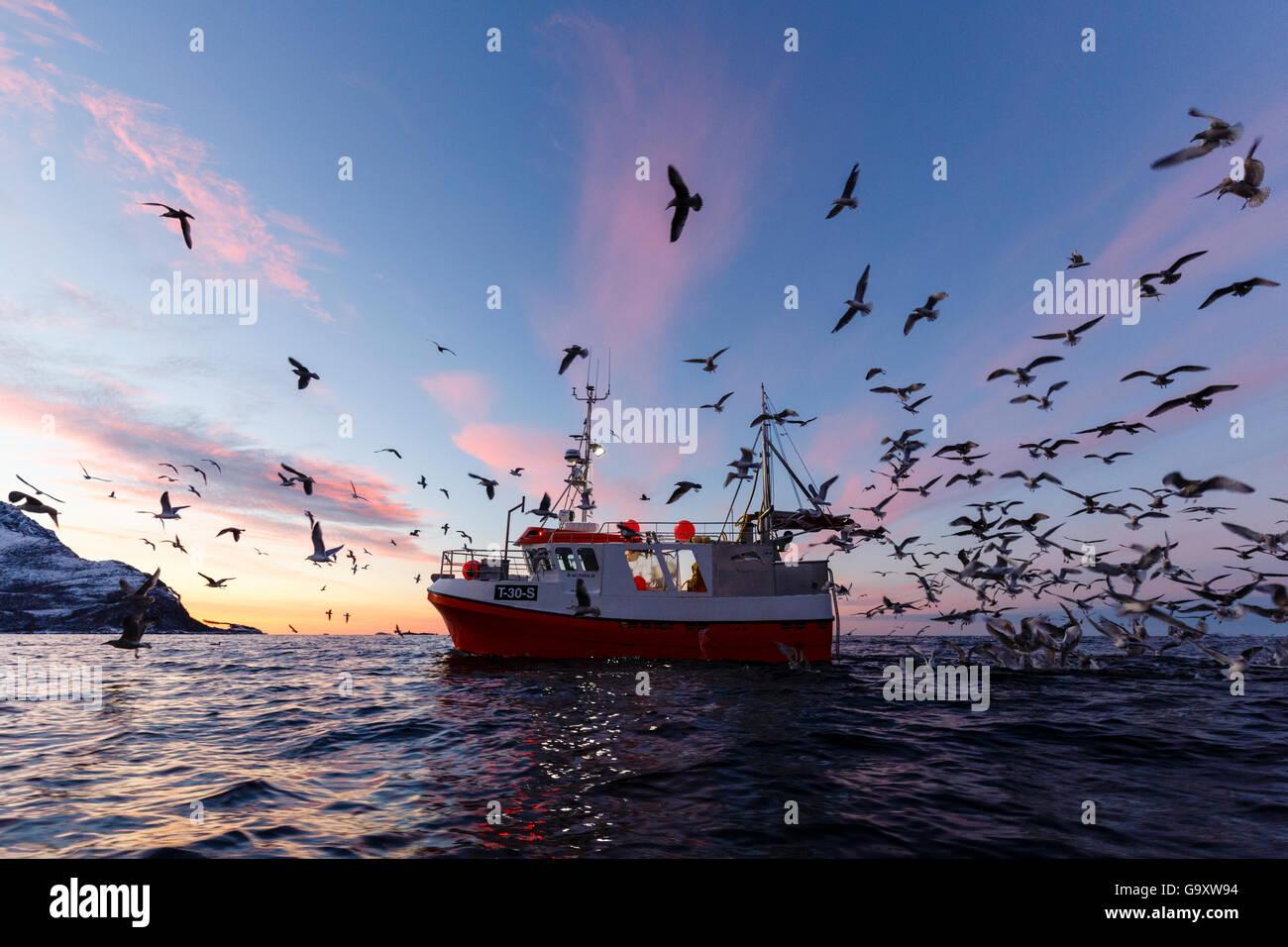 Les goélands (Laridae) à la suite de petit bateau de pêche, Kvaloya, Troms, Norway, novembre. Photo Stock