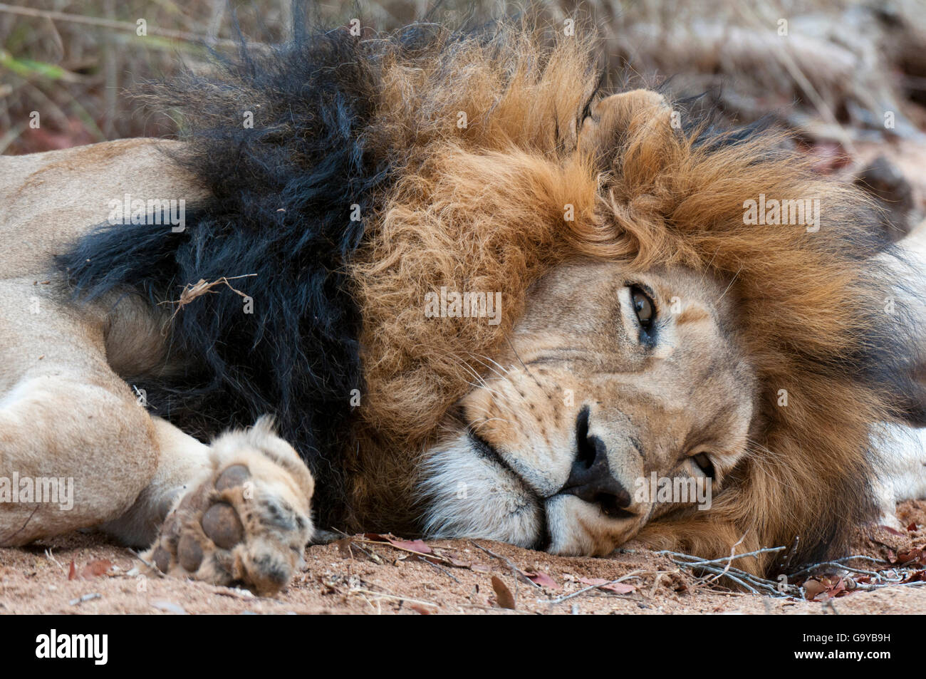 lion panthera leo homme mensonge r serve kapama game afrique du sud l 39 afrique banque d. Black Bedroom Furniture Sets. Home Design Ideas