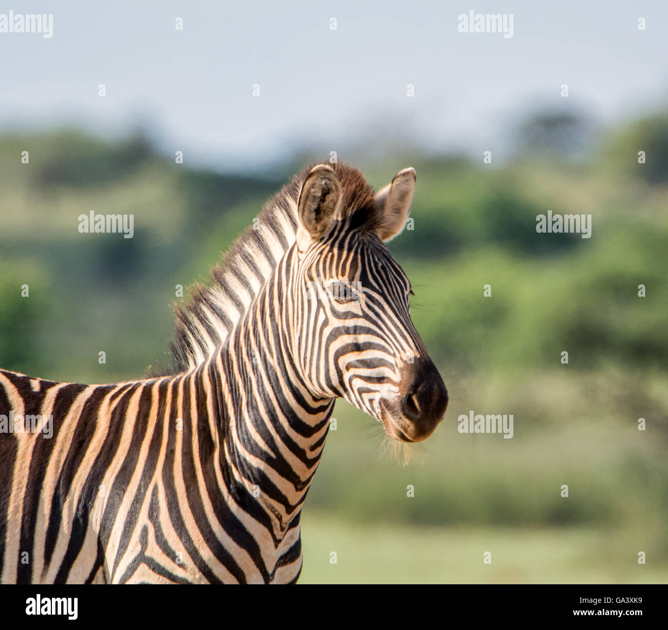 Portrait d'un le zèbre de Burchell, dans le sud de savane africaine Banque D'Images