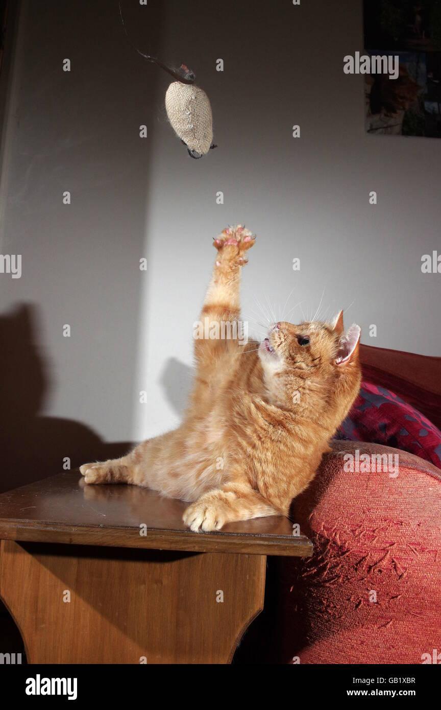 Le gingembre chat jouant avec la souris jouet Banque D'Images