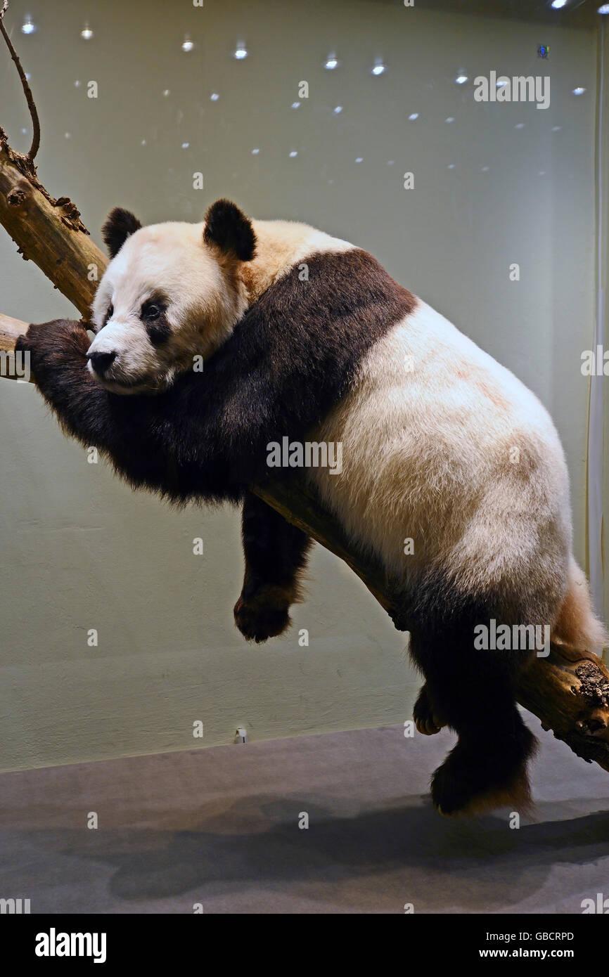 Preseved spécimen de Panda Géant Bao Bao (Ailuropoda melanoleuca), musée d'histoire naturelle, Photo Stock