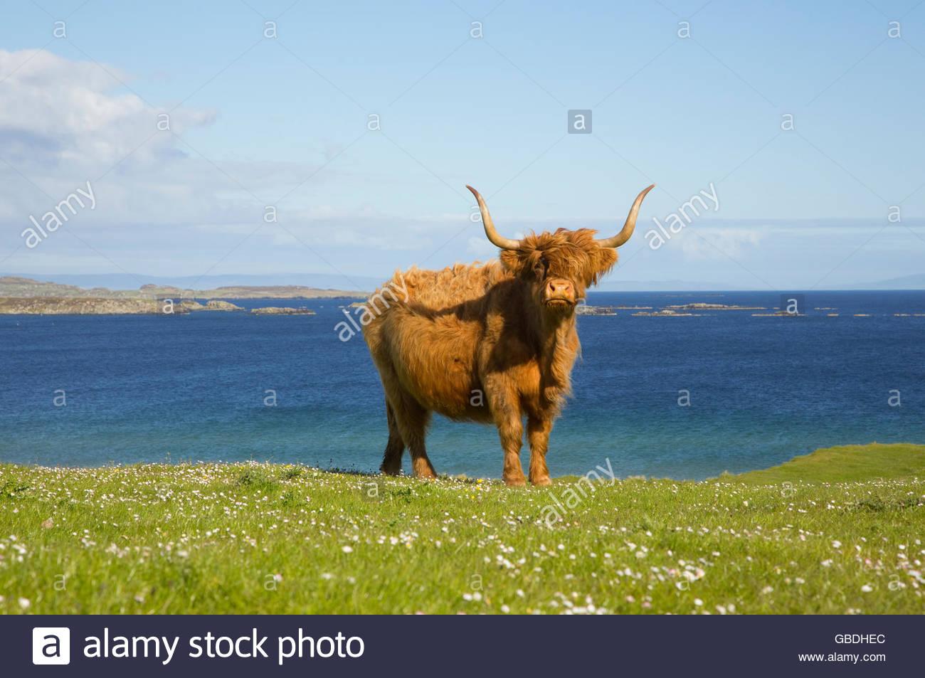 Une vache Highland près de Port Ellen sur l'île d'Islay, Hébrides intérieures, de l'Écosse. Photo Stock