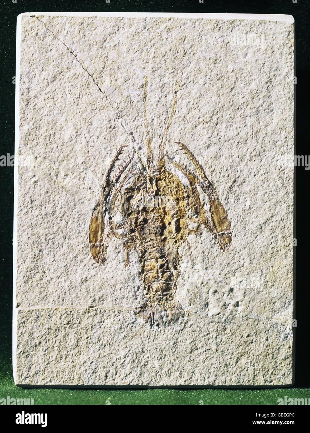 La préhistoire, les fossiles, les animaux, les crustacés, paleopentacheles roettenbacheri Additional-Rights Photo Stock