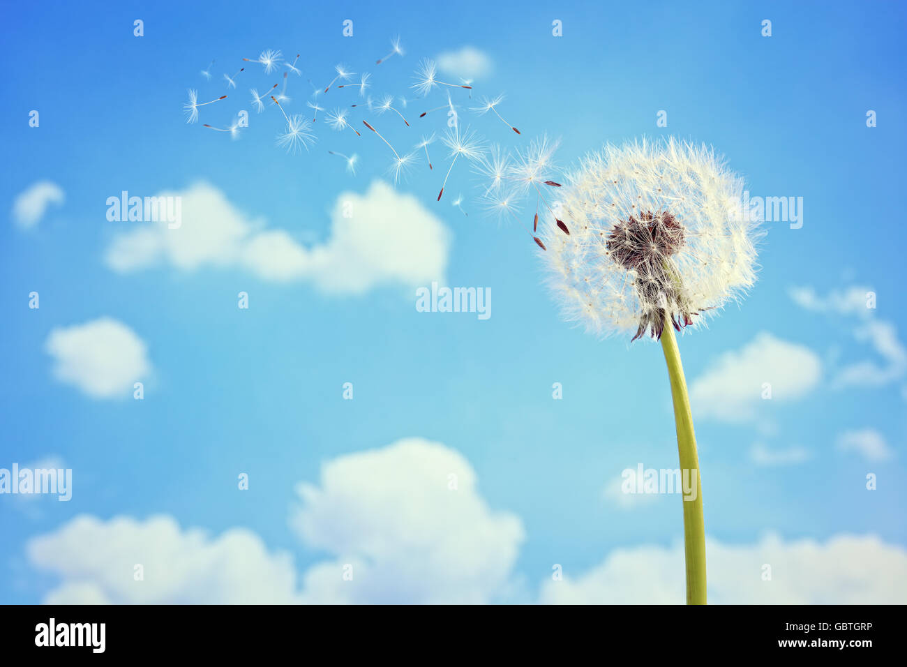 Avec les graines de pissenlit souffle loin dans le vent dans un ciel bleu clair avec copie espace Photo Stock