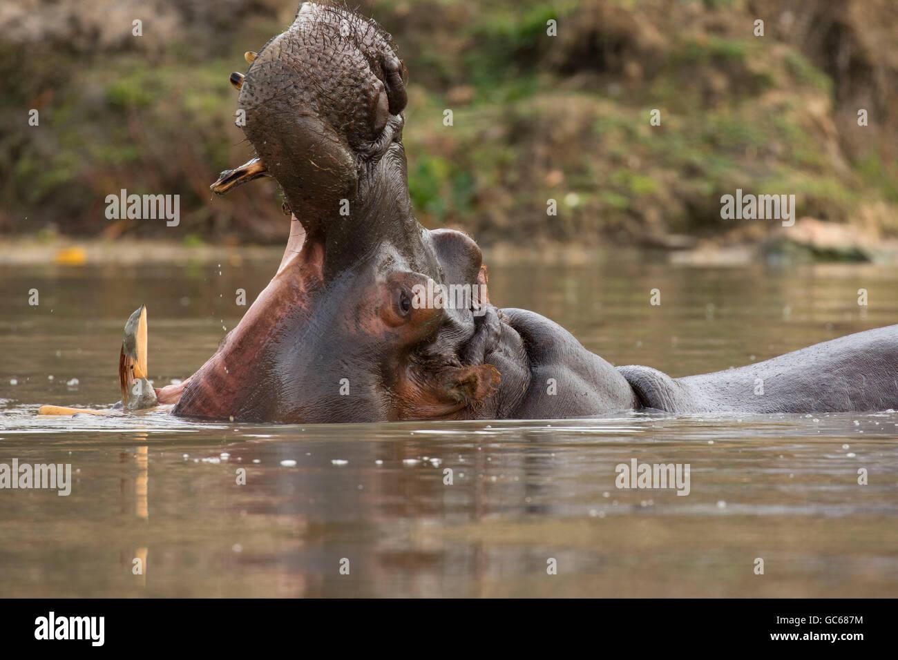 Hippopotame (Hippopotamus amphibius), Safari de faune, Winston, Oregon Photo Stock