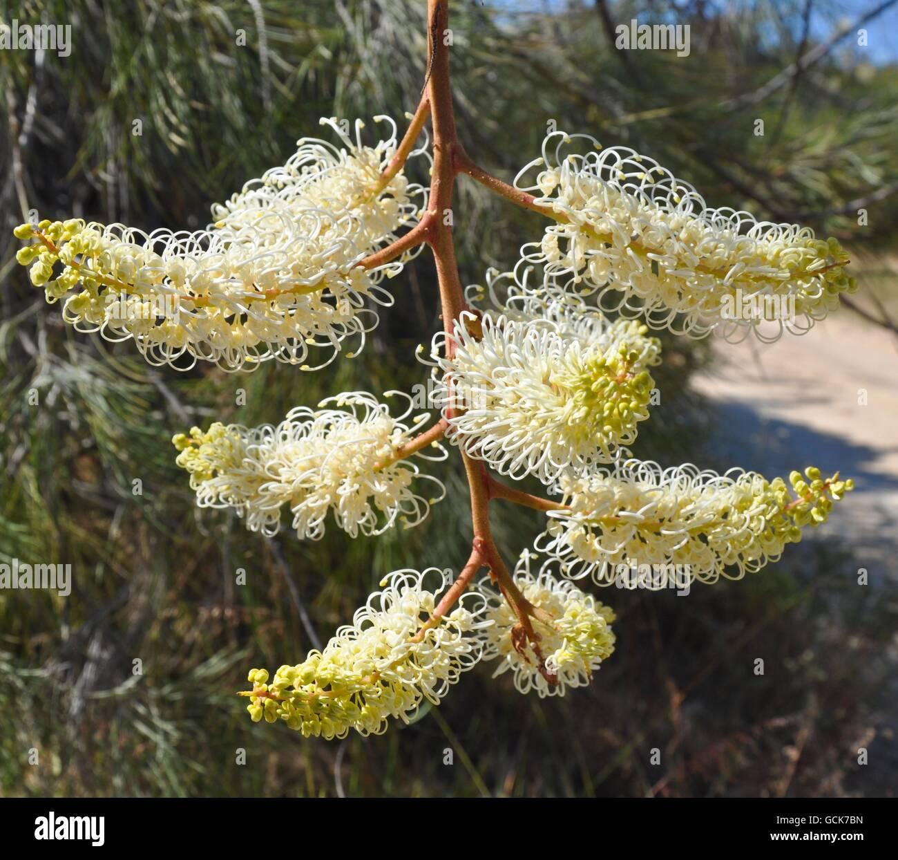 Blanc et jaune crème fleur araignée filiformes, Grevillia lune, dans la nature en plein air dans l'ouest de l'Australie. Banque D'Images