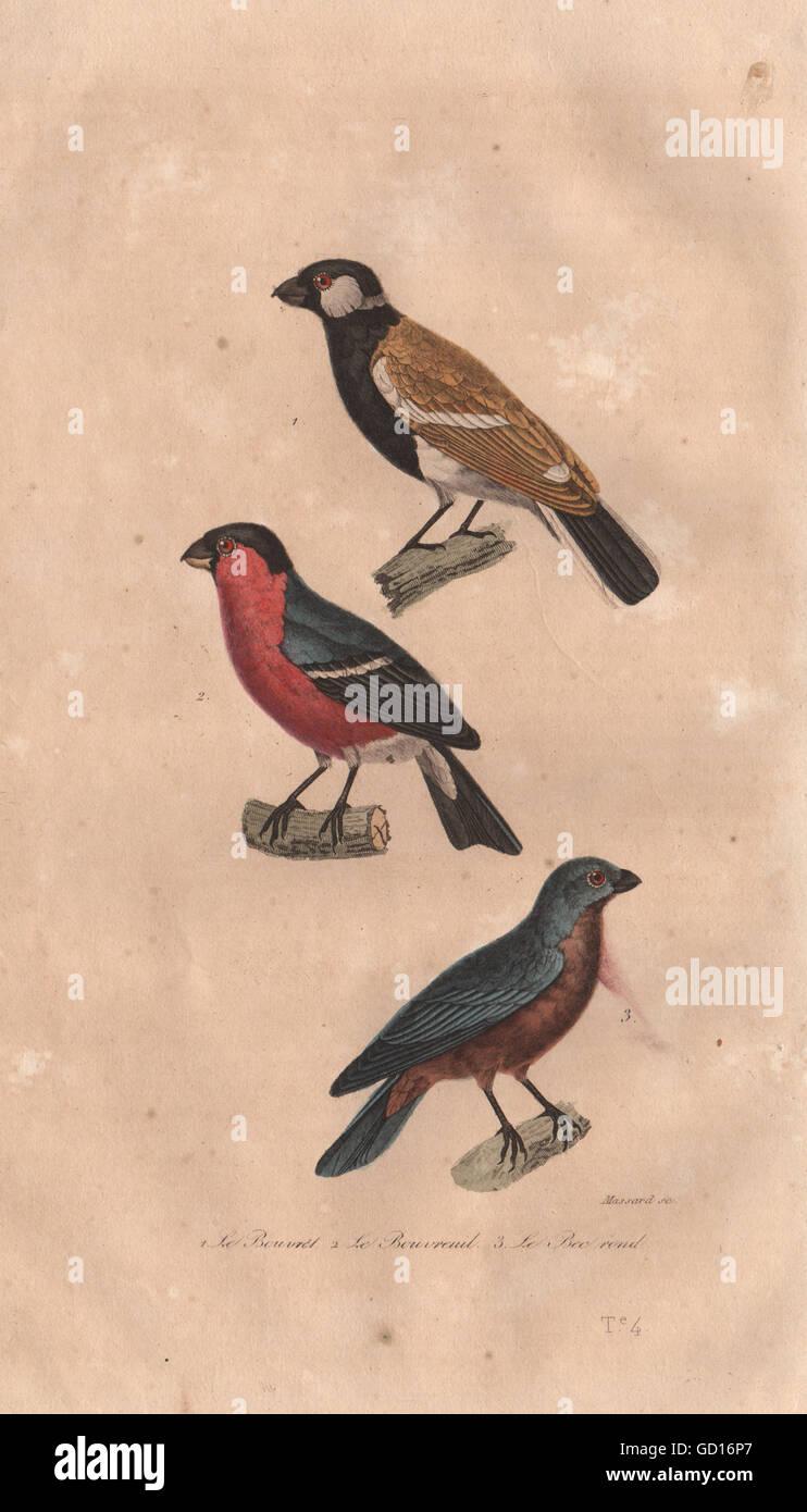 Les oiseaux: Bouvrel; Bouvreuil (colvert); bec rond (Guiraca bleu). BUFFON, 1837 Photo Stock