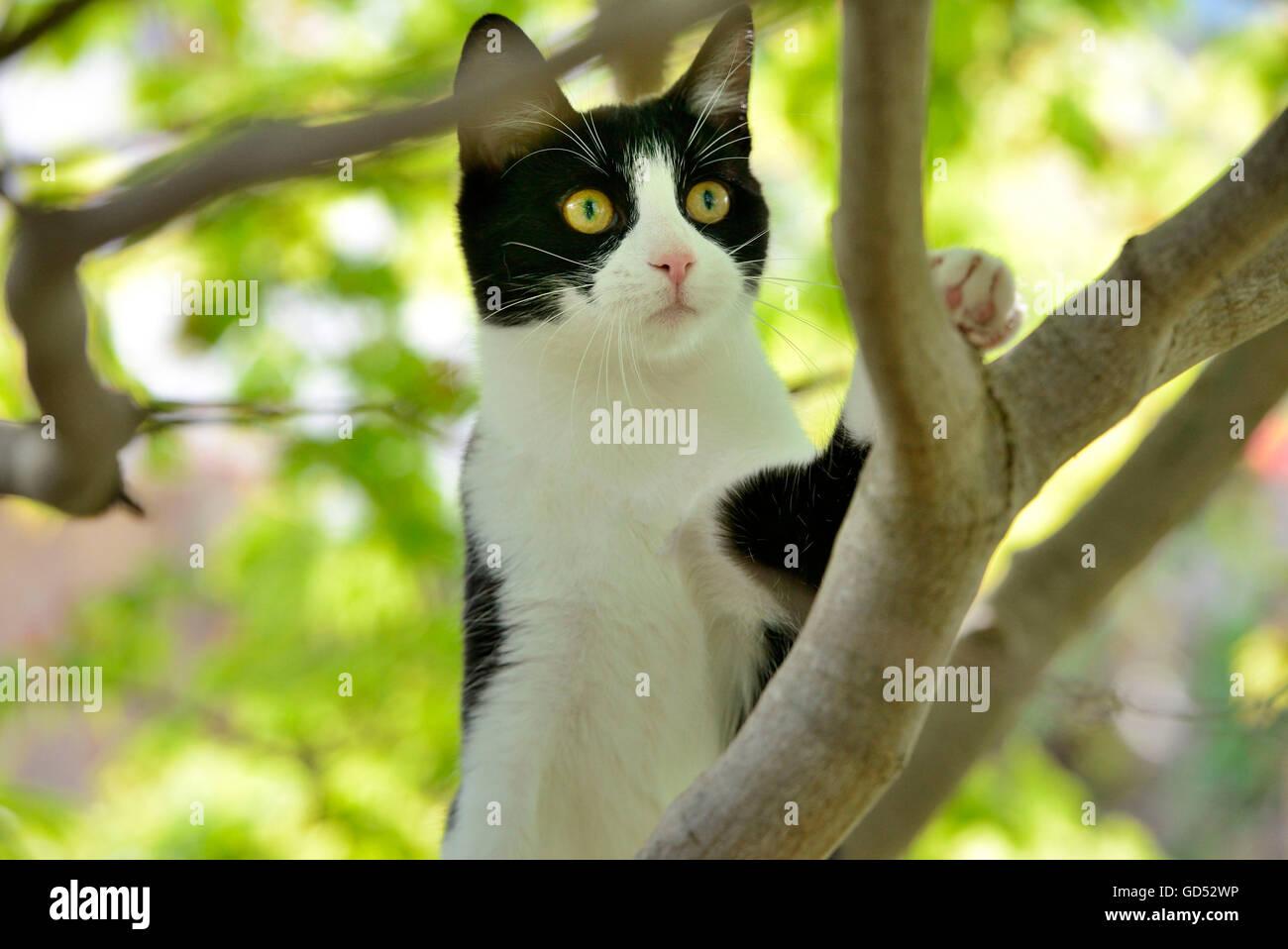 Chat domestique, chaton dans l'arbre d'escalade Photo Stock