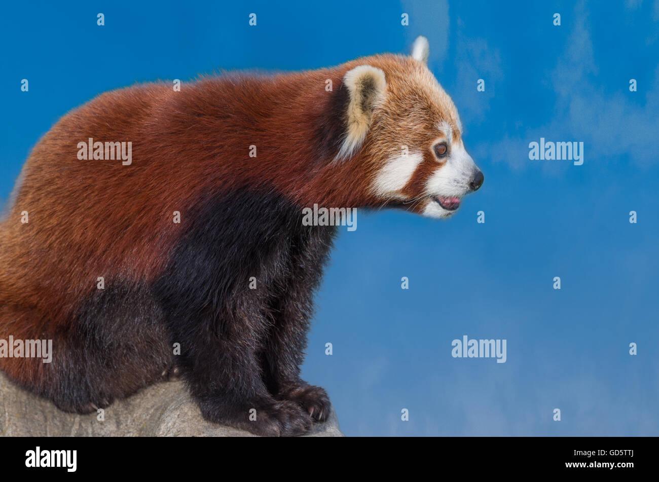 Rd panda. Série Gros plan Photo Stock