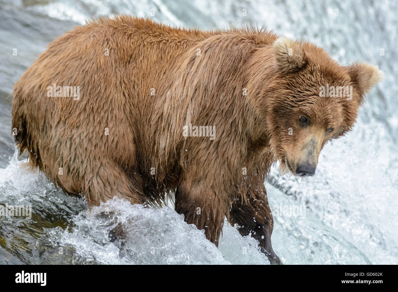 Pêcher le saumon de l'ours grizzli en haut d'une cascade, Brook Falls, Alaska Photo Stock