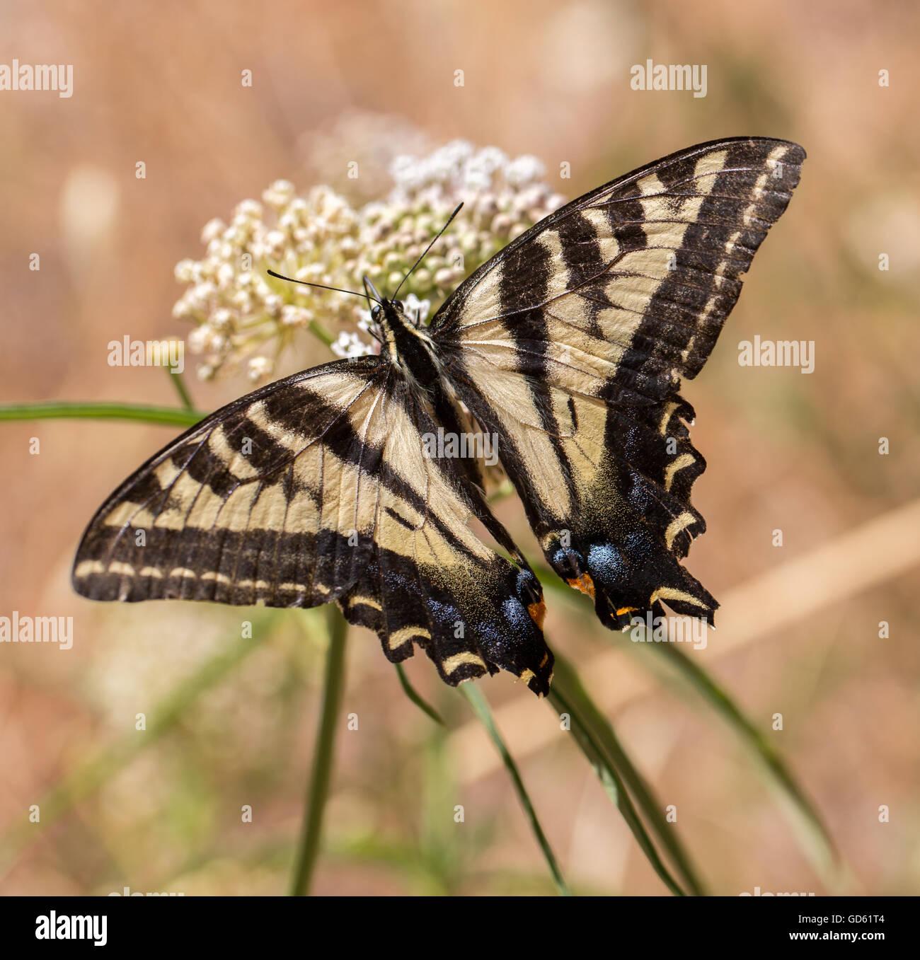 Western Tiger Papilio rutulus) nourris d'asclépiades plante. Banque D'Images