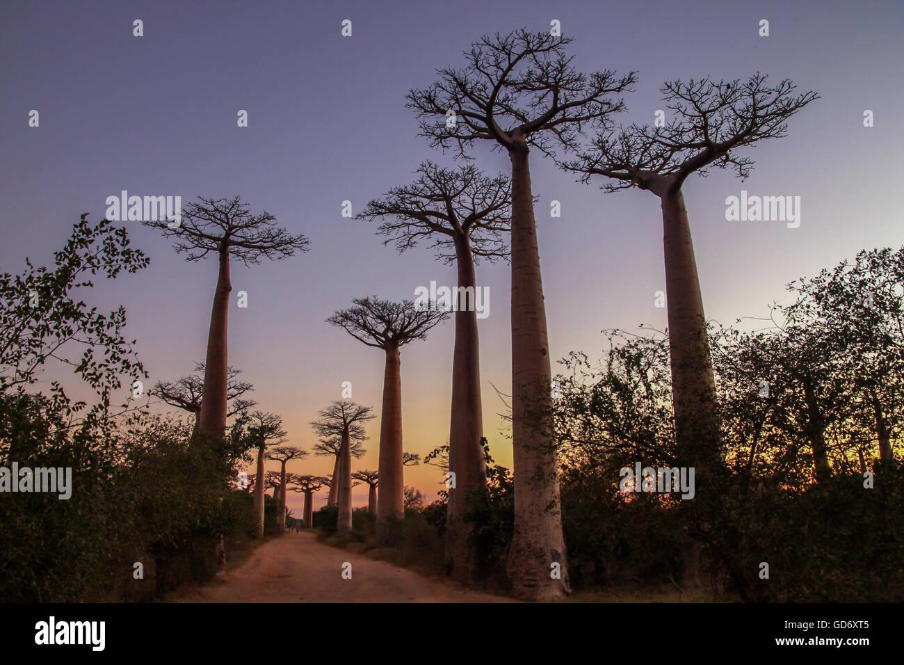 Coucher de soleil dans la célèbre avenue de baobab près de Morondava à Madagascar Photo Stock