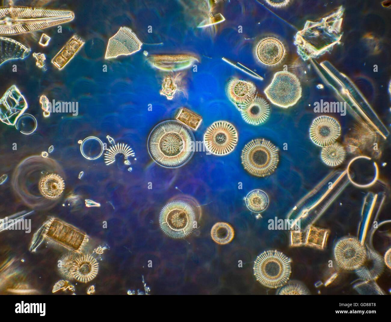 Les diatomées, darkfield photomicrographie, Chemult Oregon USA Banque D'Images