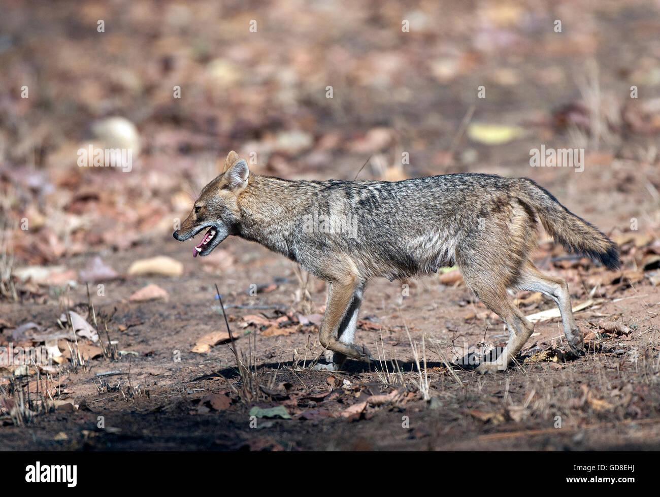 Le droit des affaires indiennes ( Chacal Canis aureus indicus ) a été prise dans le parc national de Bandavgarh, Inde Banque D'Images