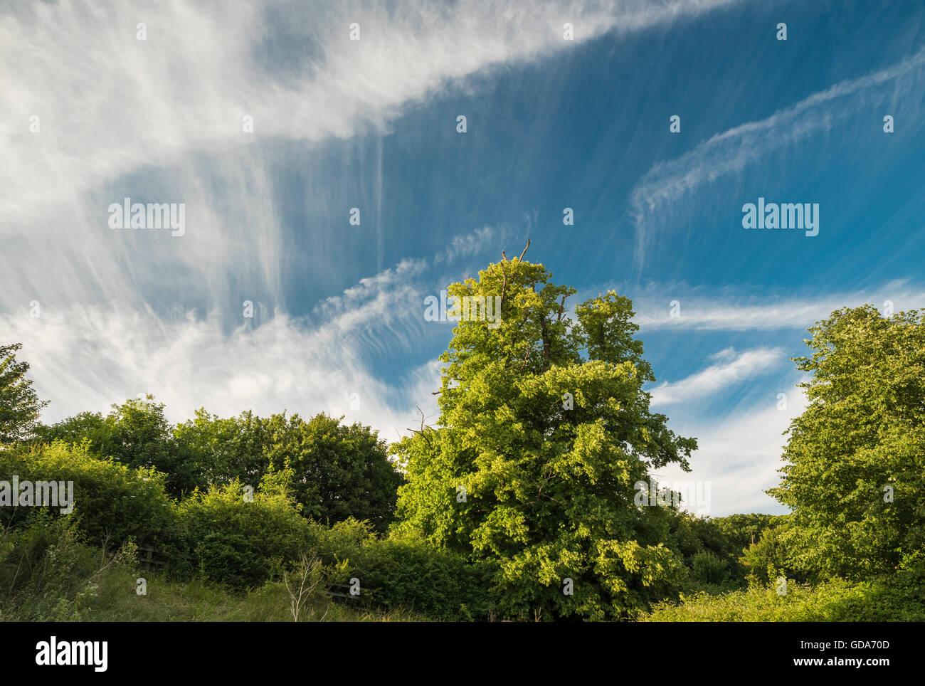 Les arbres forestiers avec de spectaculaires formations de nuages près de Peterborough Cambridgeshire, Angleterre Photo Stock