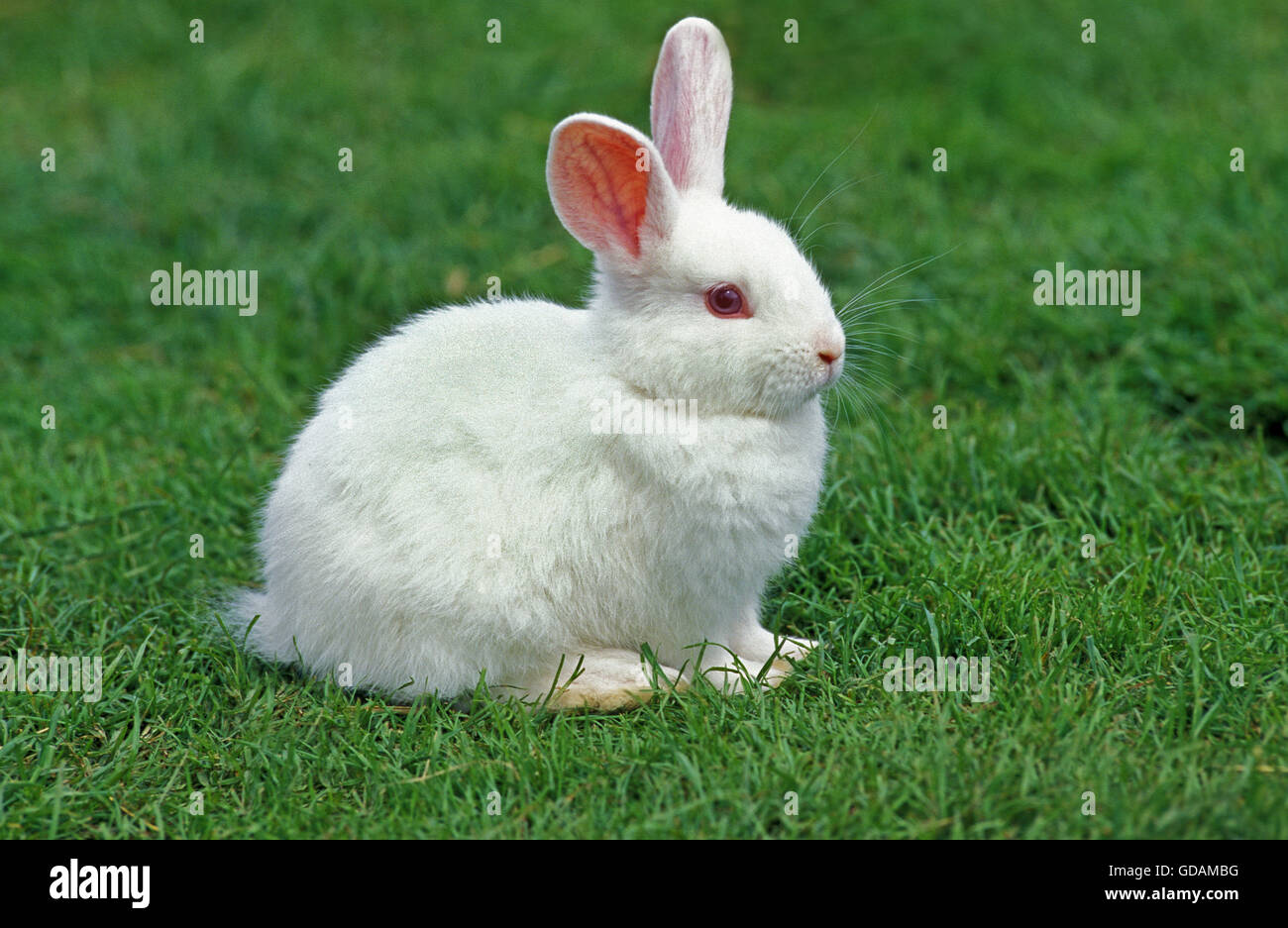 Lapin Dwarft albinos sur l'herbe Photo Stock