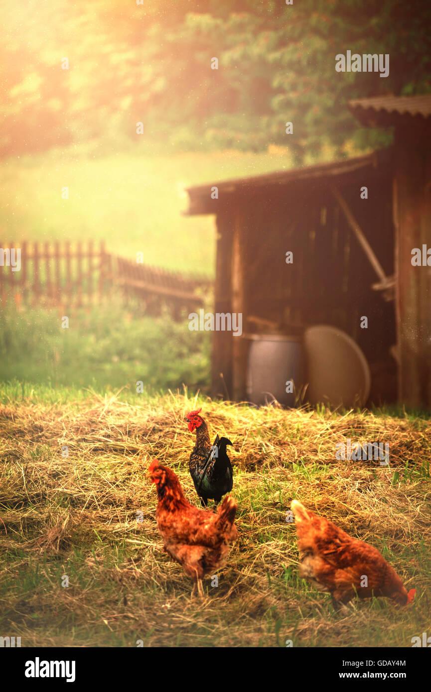Trois poules dans un village Photo Stock