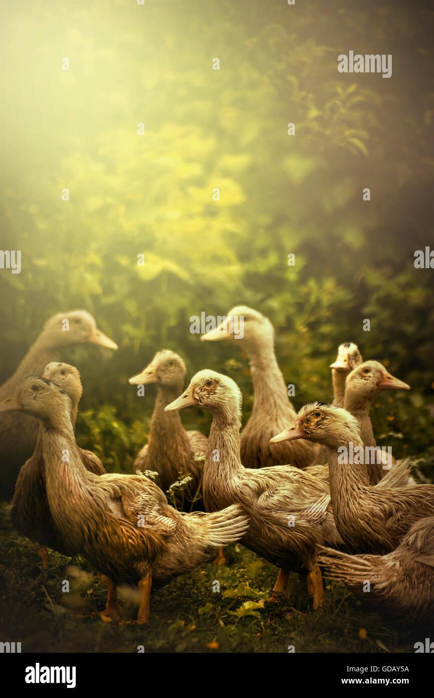 Groupe de petits canards dans la nature Photo Stock