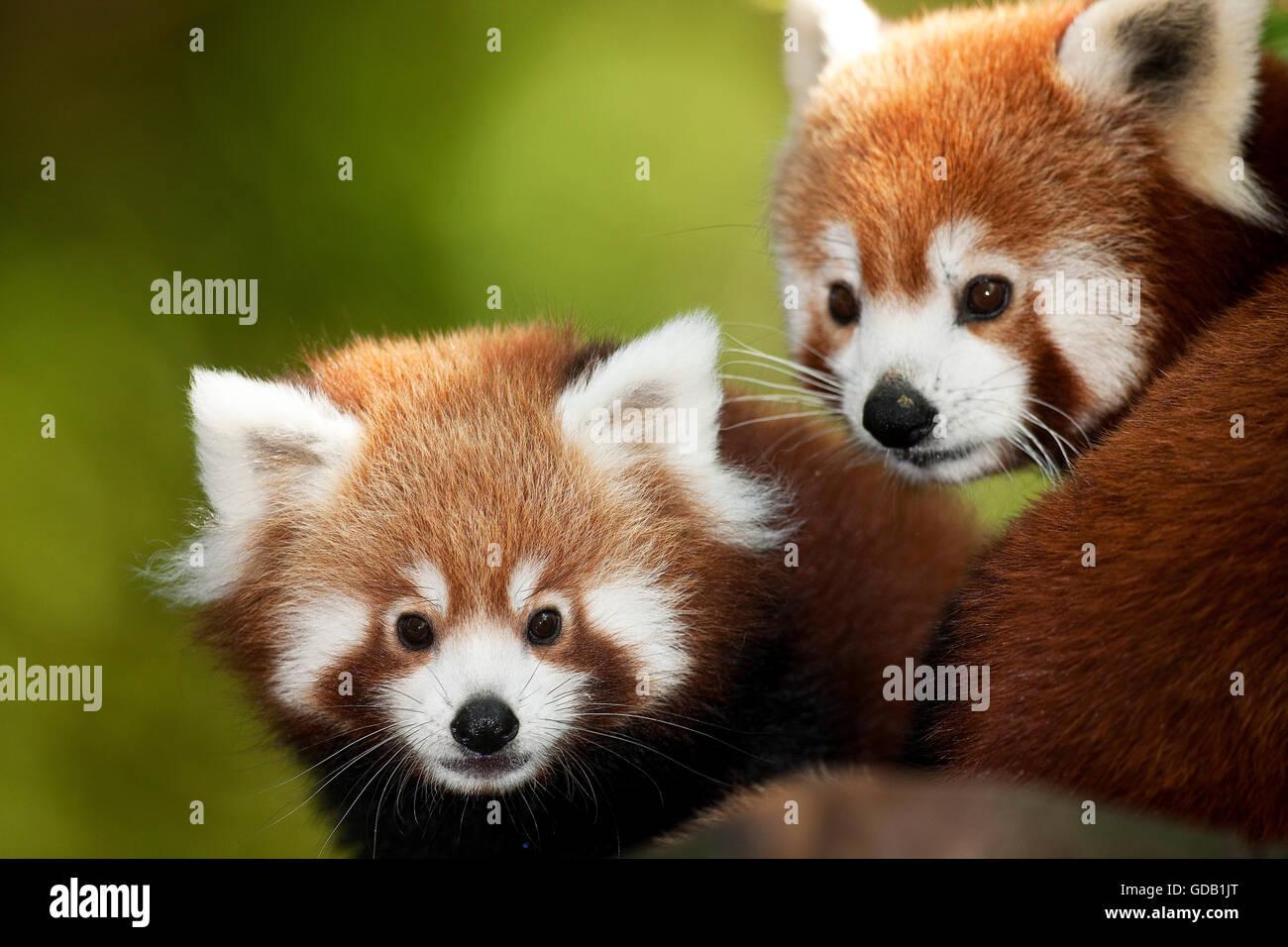 Le panda rouge, Ailurus fulgens, Portrait des adultes Photo Stock