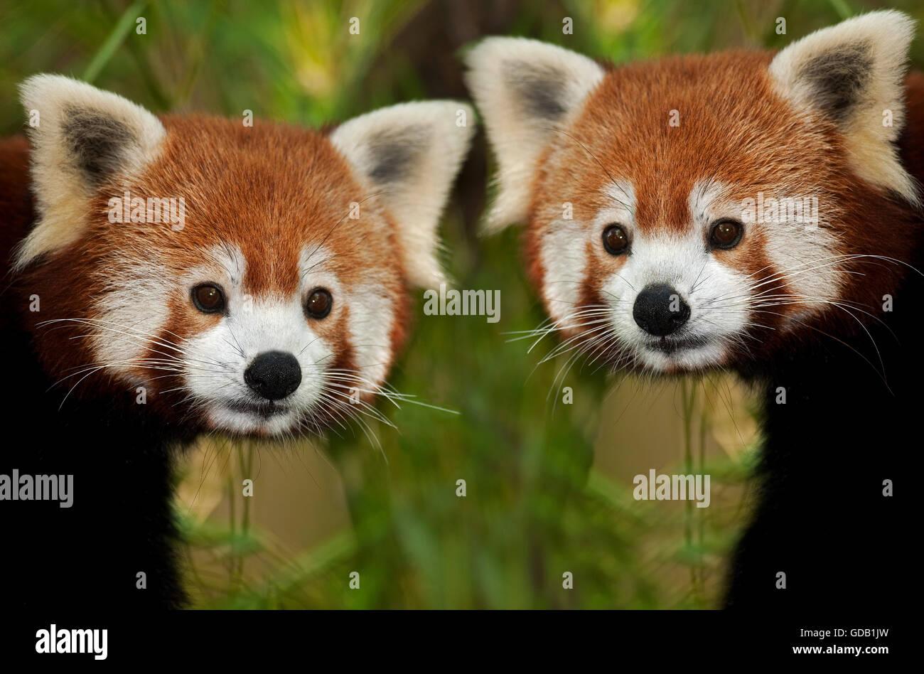 Le panda rouge, Ailurus fulgens, Portrait des adultes Banque D'Images