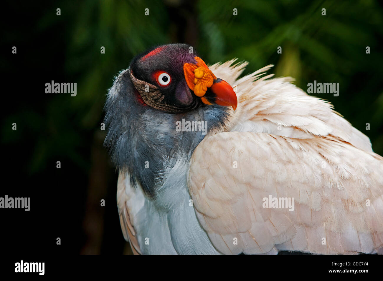 Tête de vautour ROI Sarcoramphus papa Photo Stock