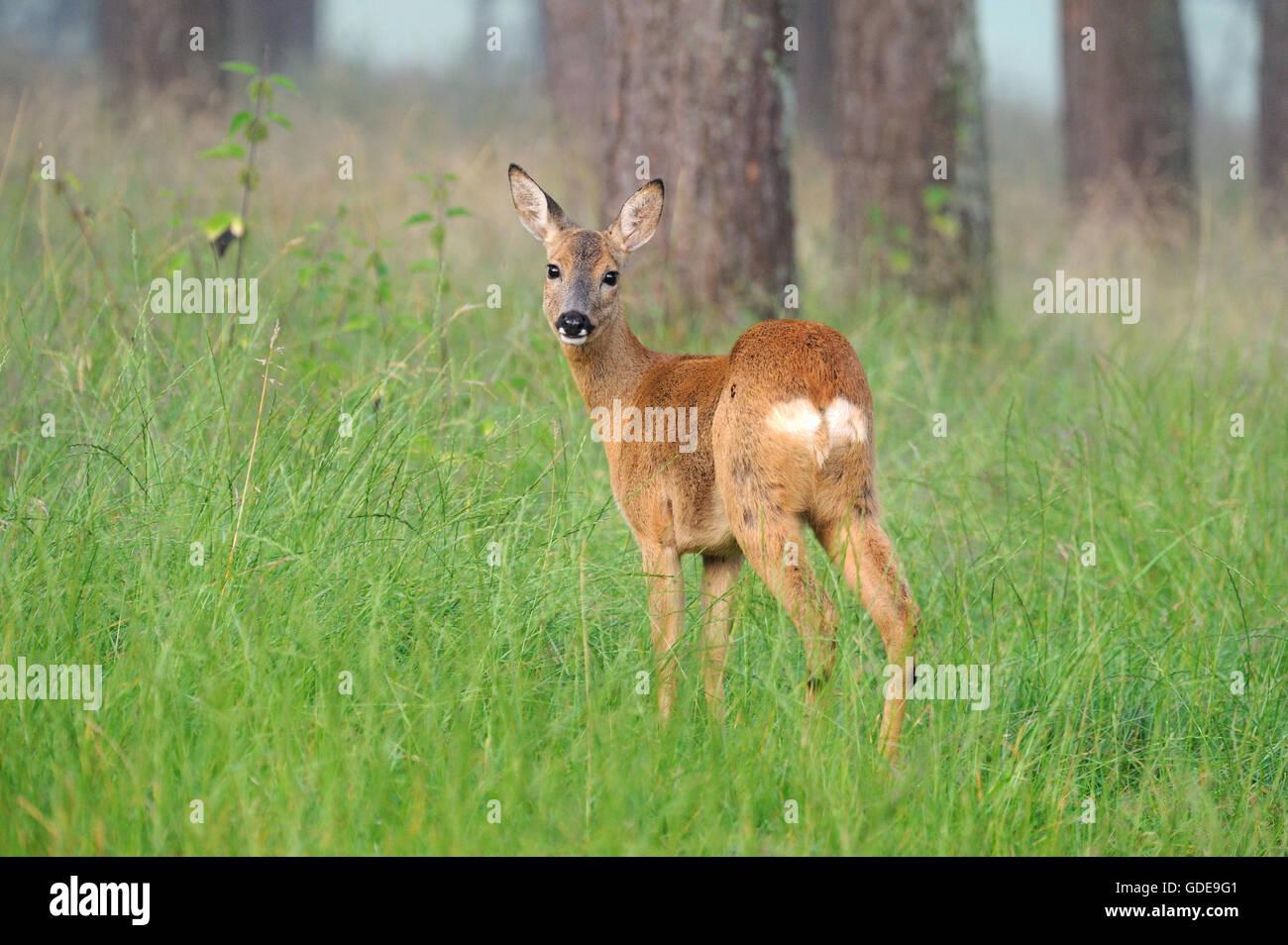 Les chevreuils dans la forêt, bois, Photo Stock