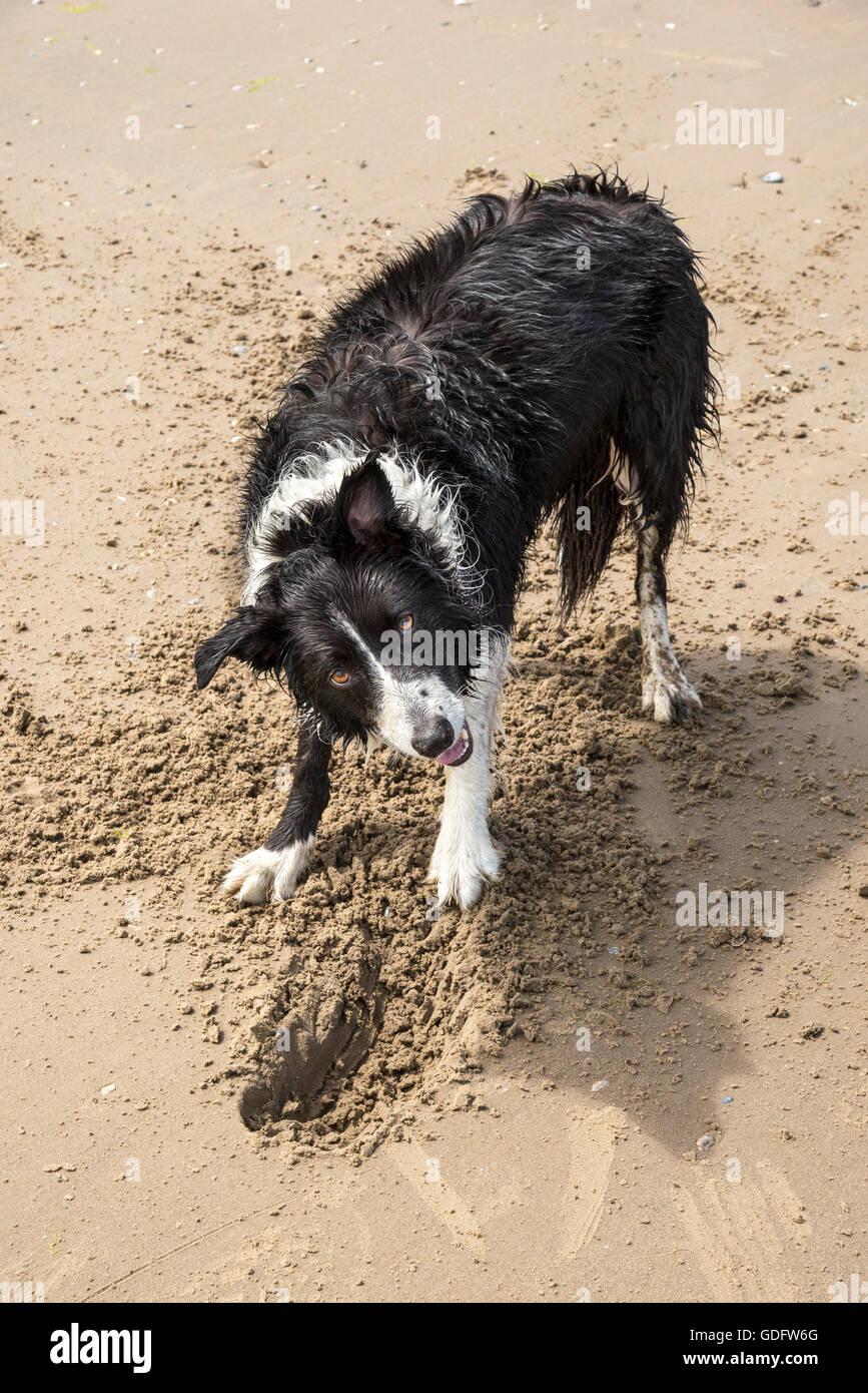 Chien Border Collie s'amusant d'un creusage en la plage de Formby point, Merseyside, Angleterre. Banque D'Images