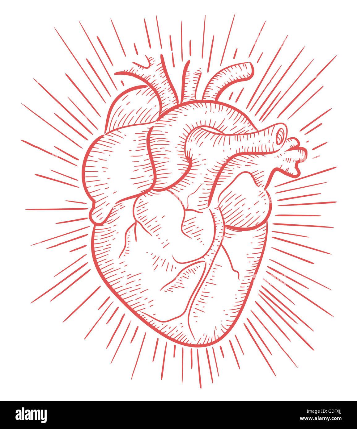 Illustration la main ou d 39 un dessin d 39 un coeur humain - Dessin coeur humain ...