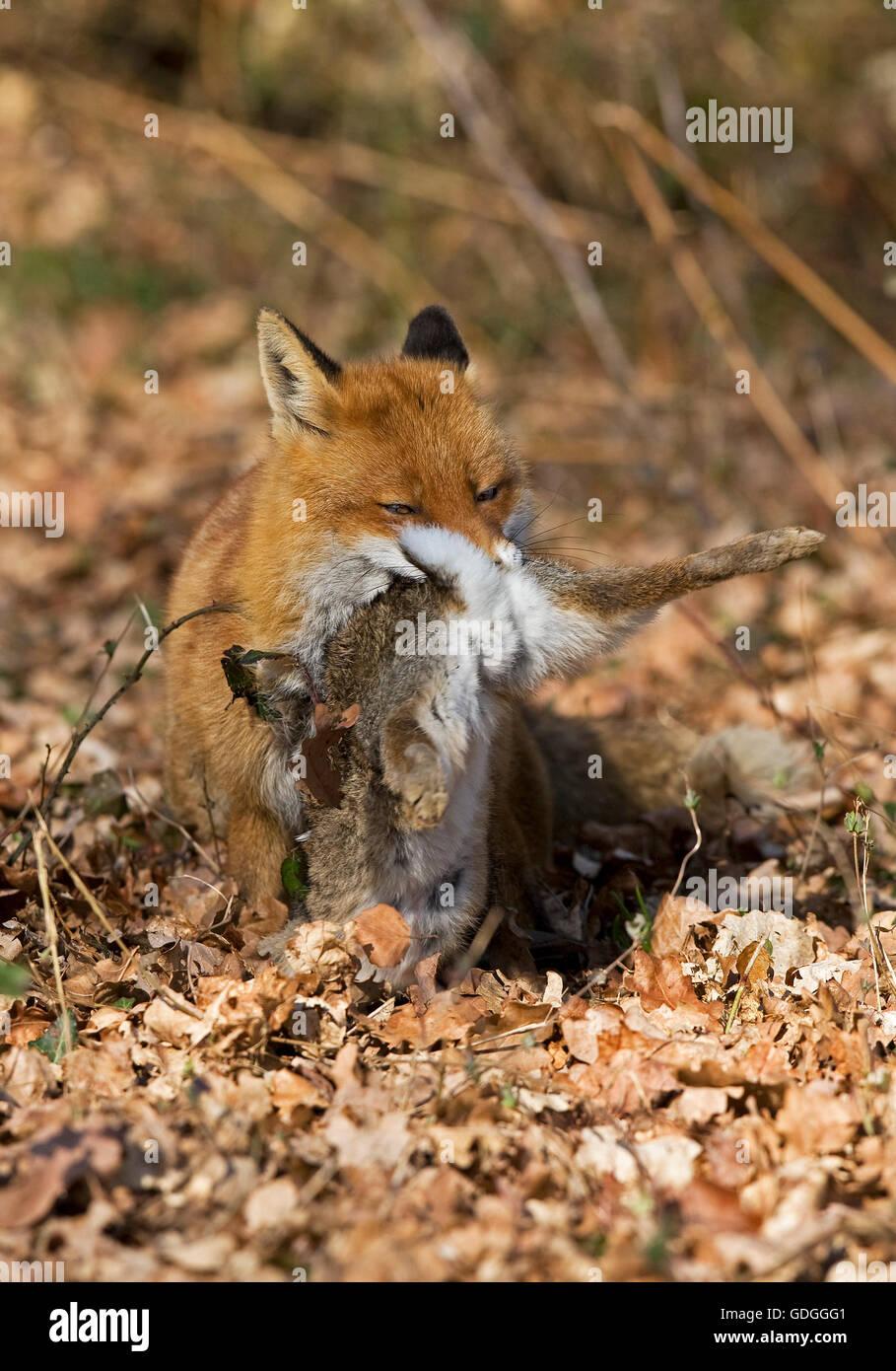 Le renard roux, Vulpes vulpes, homme avec un Kill, un lapin sauvage, Normandie Banque D'Images