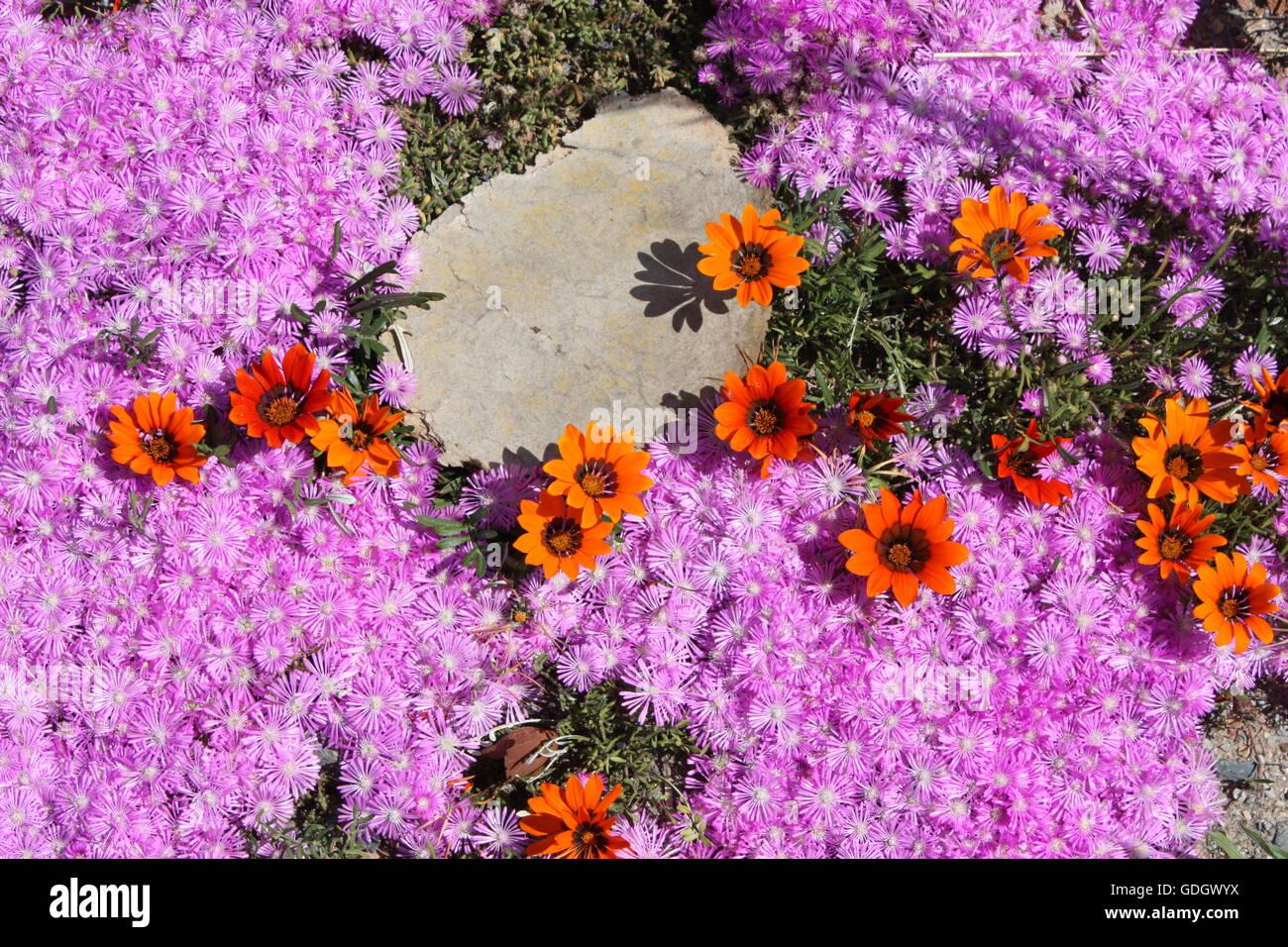 Fleurs De Printemps Colore Western Cape Afrique Du Sud Banque D