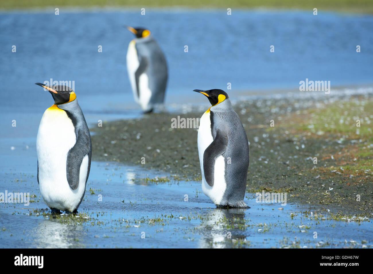 Trois manchots royaux (Aptenodytes patagonicus) debout dans l'eau, point de bénévoles, East Falkland, îles Falkland Banque D'Images