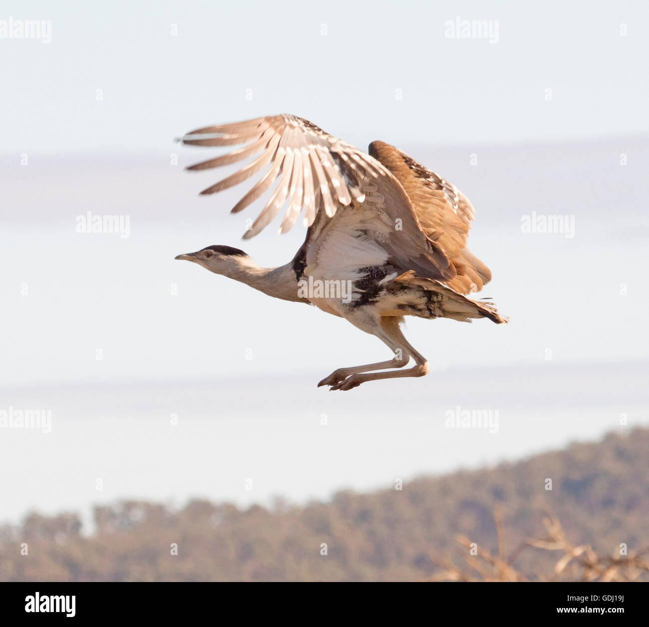 Australian bustard / plains Turquie Ardeotis australis, grand oiseau brun en vol au-dessus des prairies de l'arrière Photo Stock