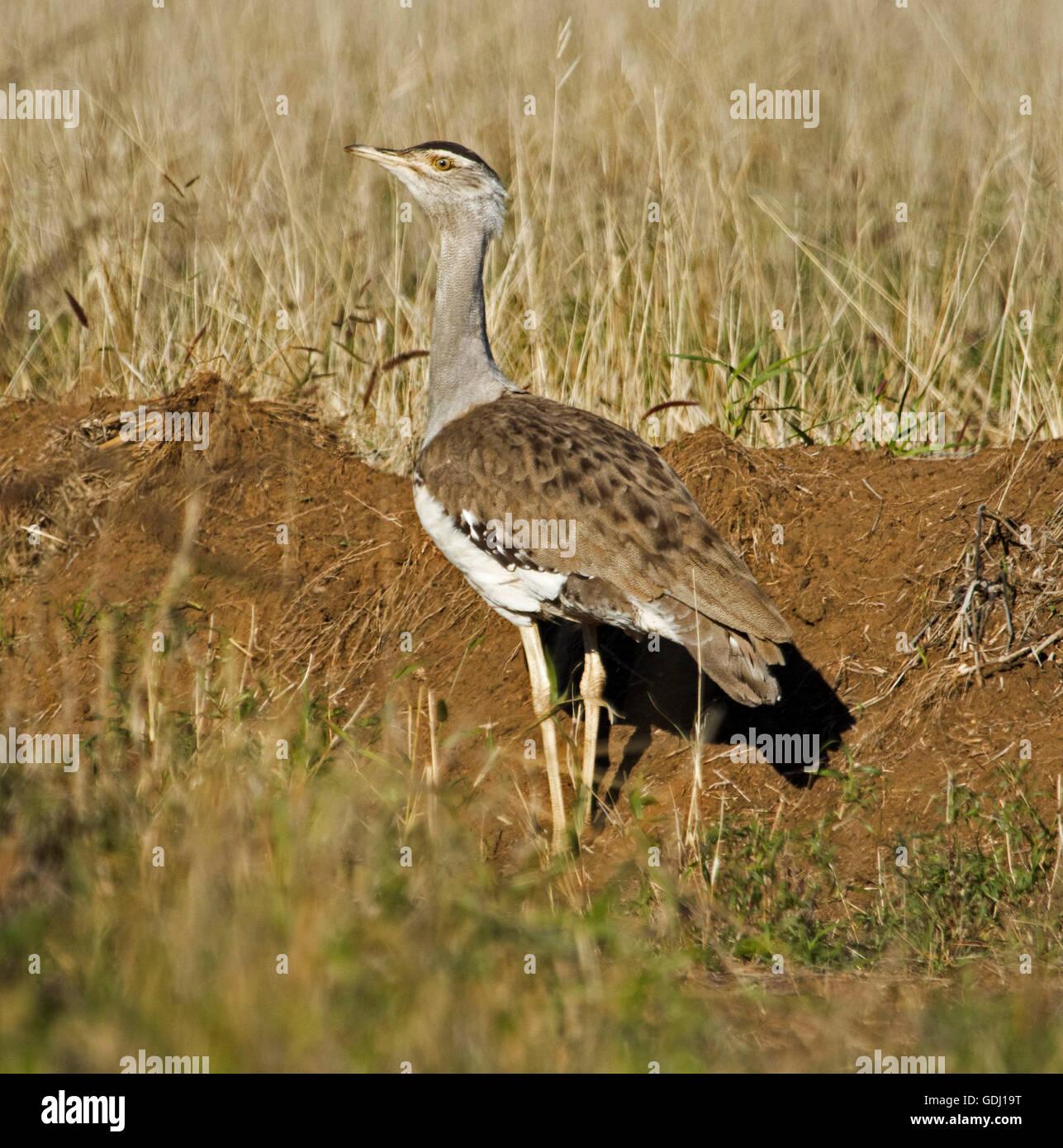 Australian bustard / plains Turquie Ardeotis australis, grand oiseau brun avec expression hautaine sur les prairies Photo Stock