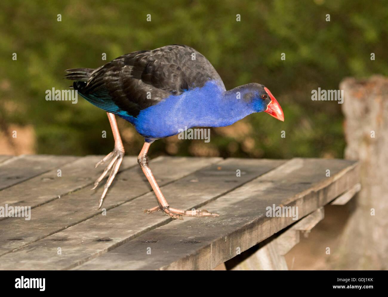 Talève sultane Porphyrio porphyrio avec d'énormes pieds, plumage noir et bleu vif rouge vif et le projet de loi sur la table de pique-nique en Australie Banque D'Images