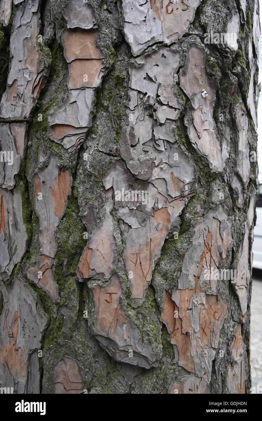 Un gros plan de l'écorce de pin en bois de texture détaillée de la tige et l'écorce de pin sylvestre s'écaillent arbre fissures Banque D'Images