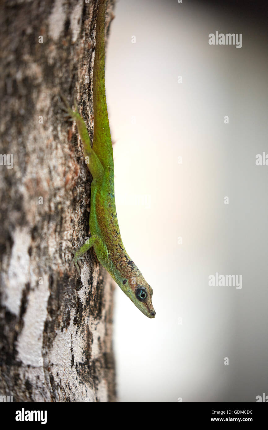 Les Petites Antilles La Barbade paroisse Saint Michael West indies capitale Bridgetown Saint Lawrence Gap ou l'écart House gecko sur tr Banque D'Images