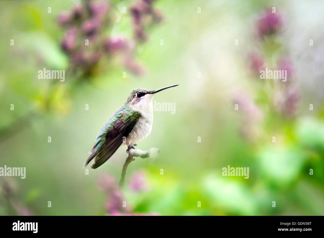 Humming Bird sur la perche dans le jardin de printemps Photo Stock