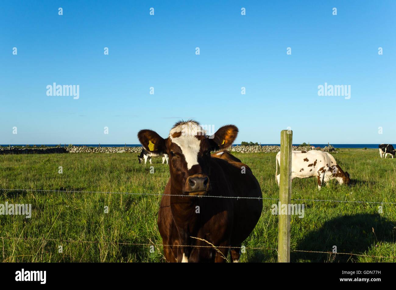 Curieux à la vache derrière un grillage de fil de fer barbelé dans un pâturage vert Photo Stock