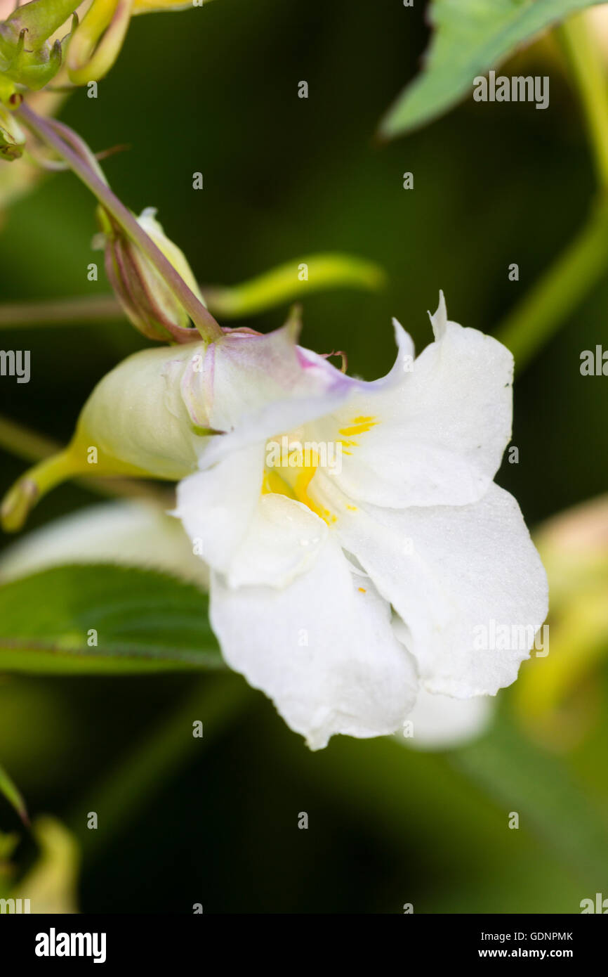 Fleurs blanches teintées de rose de la balsamine de l'Himalaya, Impatiens arguta 'Alba' Banque D'Images