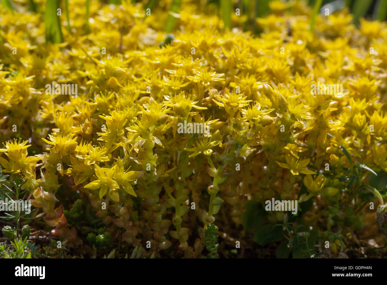 Floraison jaune Sedum acre au printemps Photo Stock