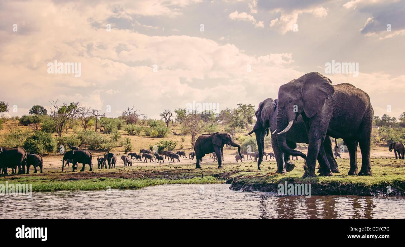 Des éléphants au bord de l'eau, le Parc National de Chobe, au Botswana Photo Stock