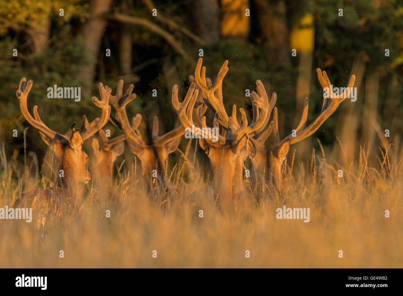 Red Deer (Cervus elaphus) en velours. Photo Stock