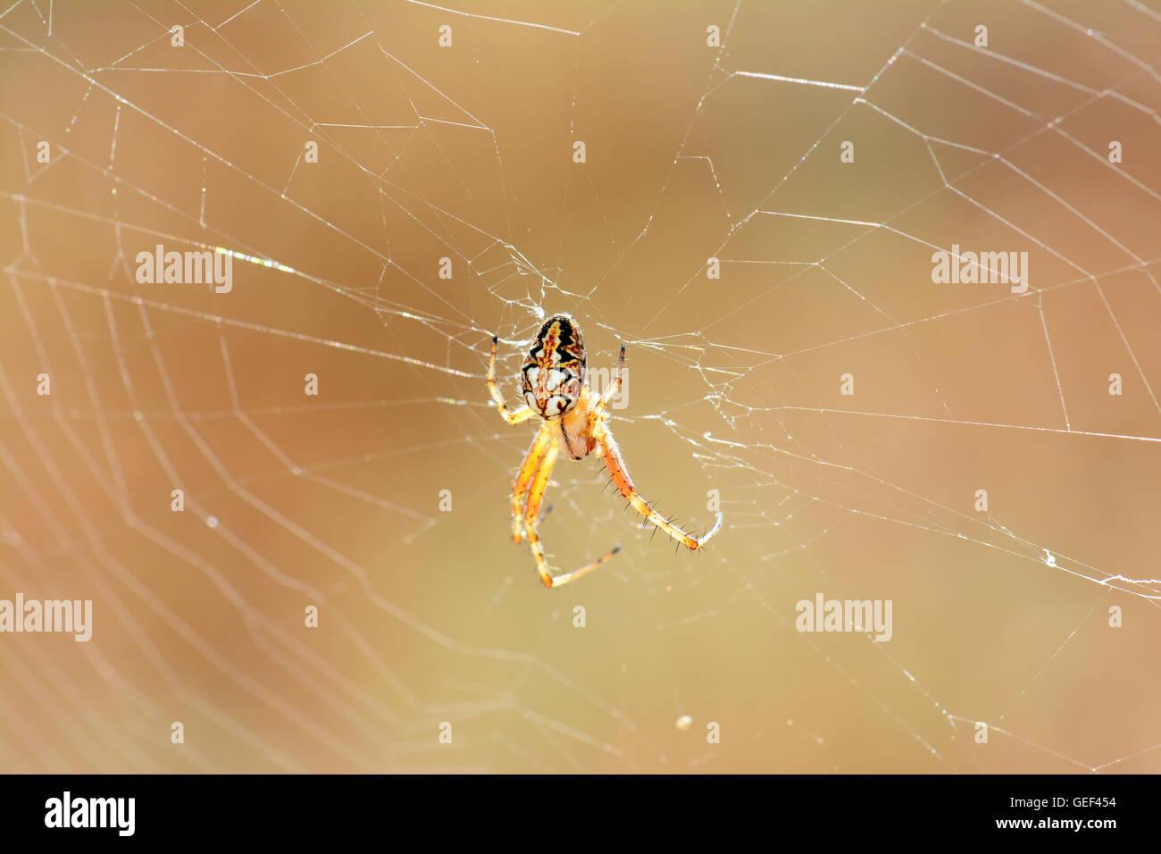 Sur Spider Spider web Photo Stock