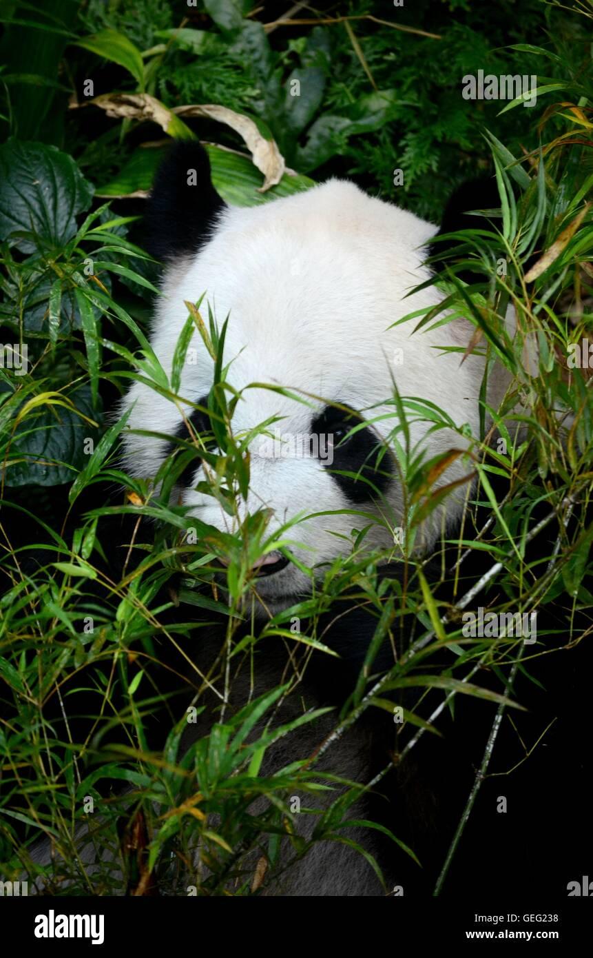 Ours Panda noir et blanc se trouve entre le feuillage de manger des pousses de bambou Photo Stock