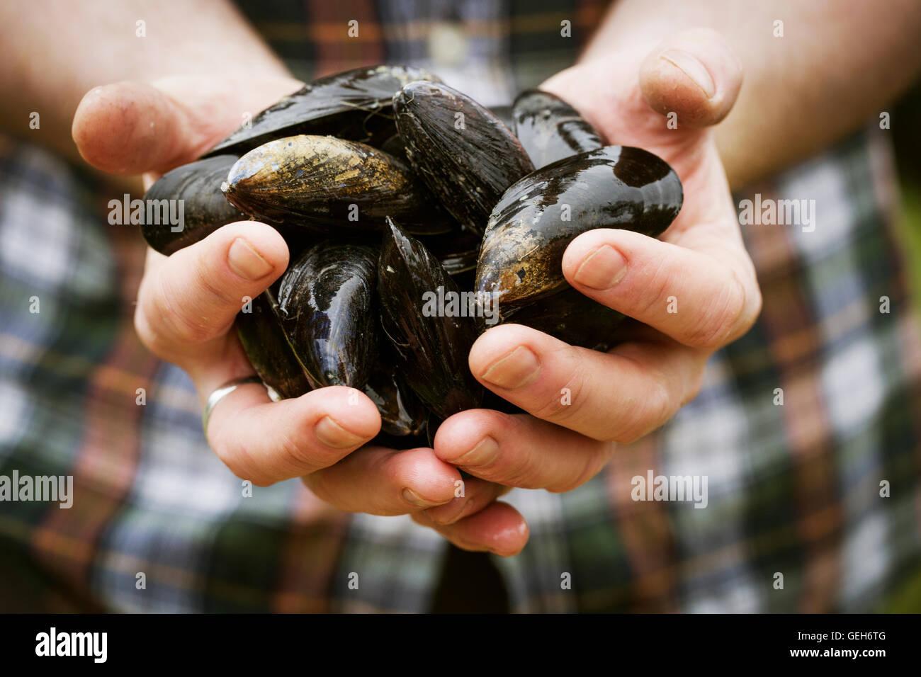 Close up of a chef holding fresh Black Moules dans ses mains. Banque D'Images