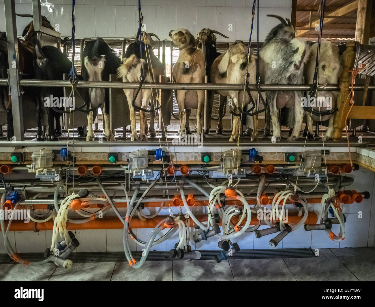 Automatique avec grange traite de chèvres, ferme de village à Fuerteventura, Îles Canaries, Espagne Banque D'Images